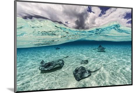 Southern Stingrays Swim across the Shallow White Sands Off Grand Cayman Island-David Doubilet-Mounted Photographic Print