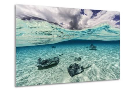 Southern Stingrays Swim across the Shallow White Sands Off Grand Cayman Island-David Doubilet-Metal Print