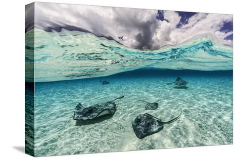Southern Stingrays Swim across the Shallow White Sands Off Grand Cayman Island-David Doubilet-Stretched Canvas Print