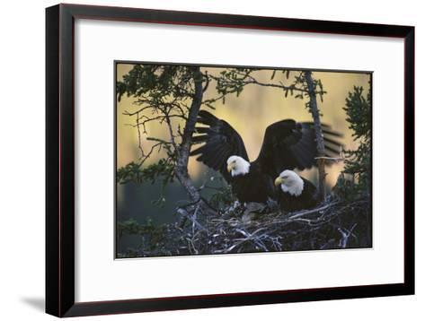 A Pair of Northern American Bald Eagles in their Treetop Nest-Michael S^ Quinton-Framed Art Print