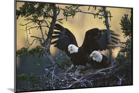 A Pair of Northern American Bald Eagles in their Treetop Nest-Michael S^ Quinton-Mounted Photographic Print