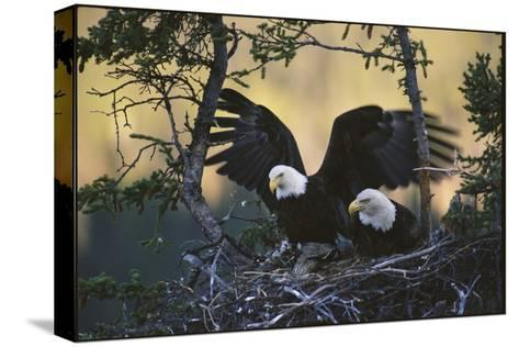 A Pair of Northern American Bald Eagles in their Treetop Nest-Michael S^ Quinton-Stretched Canvas Print