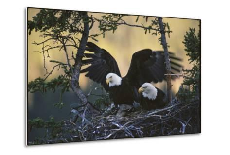 A Pair of Northern American Bald Eagles in their Treetop Nest-Michael S^ Quinton-Metal Print