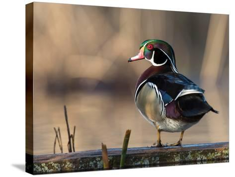 A Drake Wood Duck Perched on a Log in the Spring in Minnesota-Steve Oehlenschlager-Stretched Canvas Print