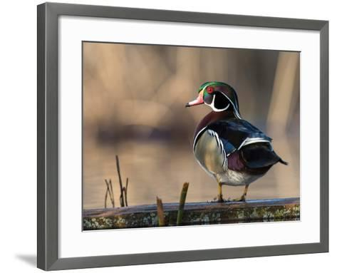 A Drake Wood Duck Perched on a Log in the Spring in Minnesota-Steve Oehlenschlager-Framed Art Print