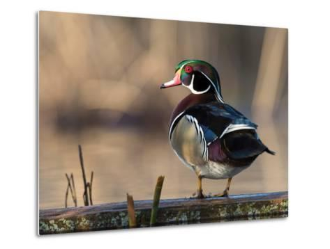 A Drake Wood Duck Perched on a Log in the Spring in Minnesota-Steve Oehlenschlager-Metal Print