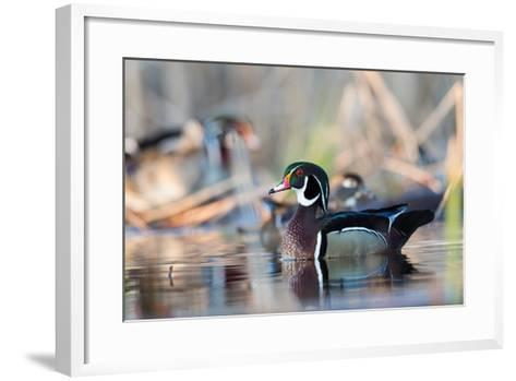 A Nice Drake Wood Duck in the Spring-Steve Oehlenschlager-Framed Art Print