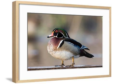 A Nice Drake Wood Duck in the Spring-Steve Oehlenschlager-Framed Art Print