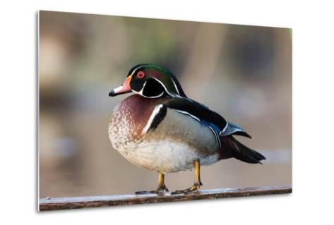 A Nice Drake Wood Duck in the Spring-Steve Oehlenschlager-Metal Print