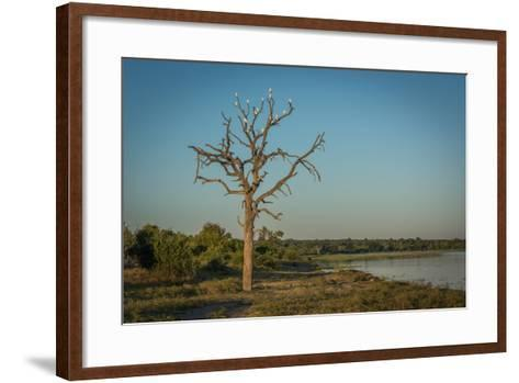 Cattle Egrets in Dead Tree Beside River-Nick Dale-Framed Art Print
