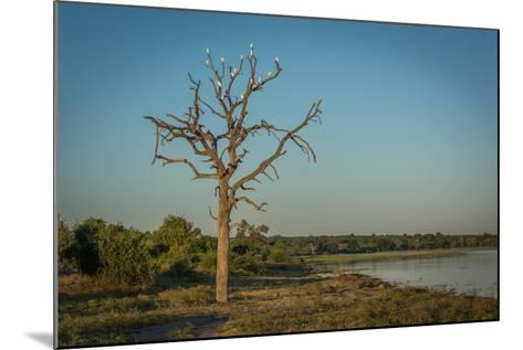 Cattle Egrets in Dead Tree Beside River-Nick Dale-Mounted Photographic Print