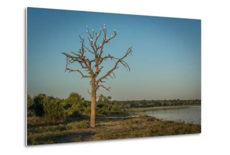 Cattle Egrets in Dead Tree Beside River-Nick Dale-Metal Print