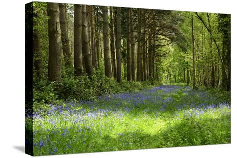 A Bluebell Wood in Oxfordshire, England in Early Summer-Arbor Images-Stretched Canvas Print