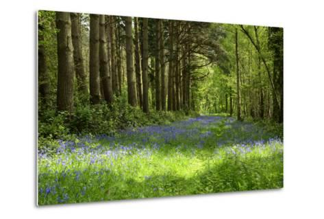 A Bluebell Wood in Oxfordshire, England in Early Summer-Arbor Images-Metal Print