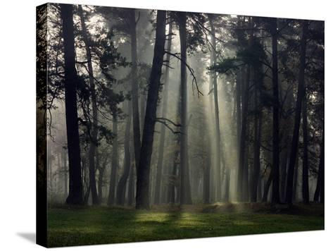 Misty Autumn Forest with Pine Trees-Taras Lesiv-Stretched Canvas Print