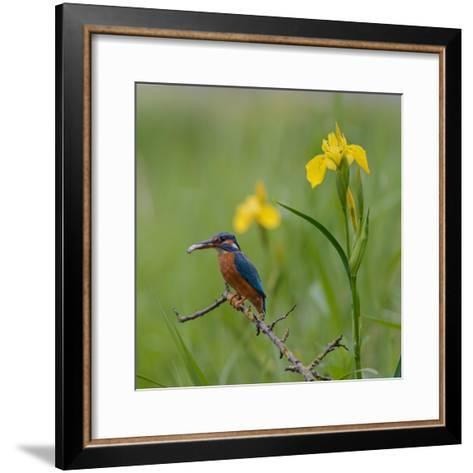 European Kingfisher with Prey with Yellow Iris Flowers-Fred Van Wijk-Framed Art Print