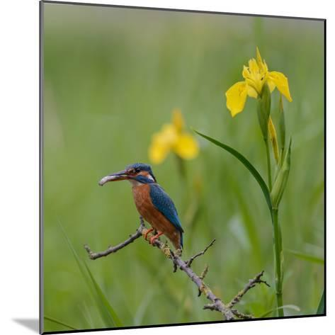 European Kingfisher with Prey with Yellow Iris Flowers-Fred Van Wijk-Mounted Photographic Print