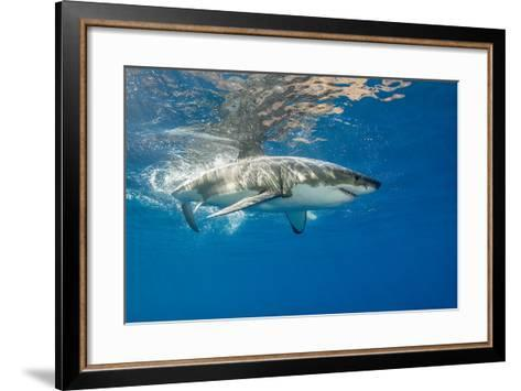 Great White Shark Underwater at Guadalupe Island, Mexico-Wildestanimal-Framed Art Print