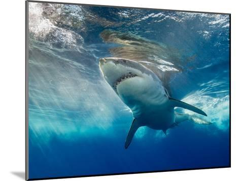 Great White Shark Underwater at Guadalupe Island, Mexico-Wildestanimal-Mounted Photographic Print