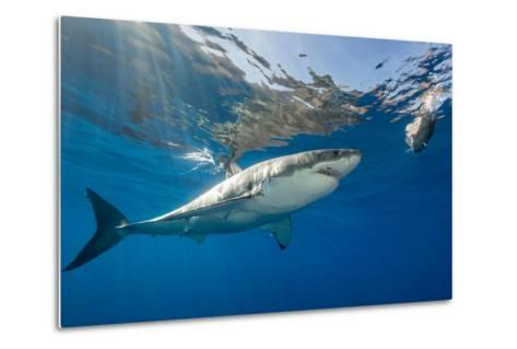Great White Shark Underwater at Guadalupe Island, Mexico-Wildestanimal-Metal Print