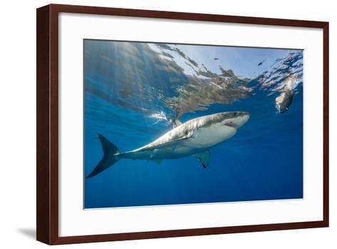 Great White Shark Underwater at Guadalupe Island, Mexico-Wildestanimal-Framed Art Print