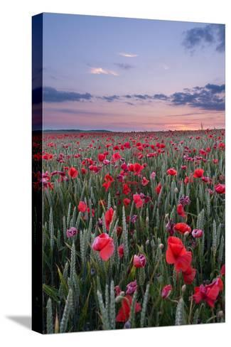 Dorset Poppy Field at Sunset-Oliver Taylor-Stretched Canvas Print