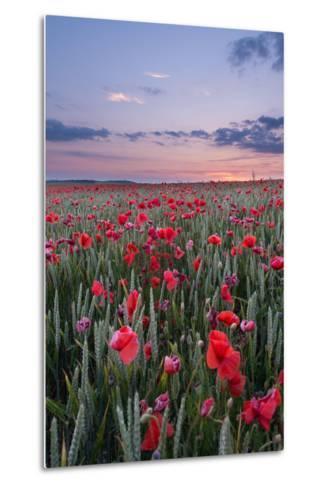Dorset Poppy Field at Sunset-Oliver Taylor-Metal Print