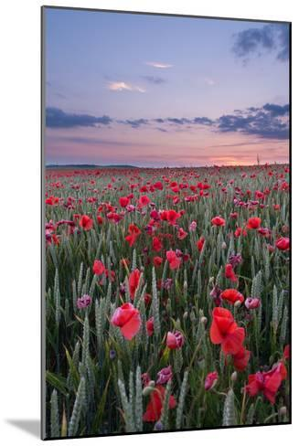 Dorset Poppy Field at Sunset-Oliver Taylor-Mounted Photographic Print