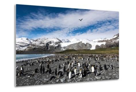 Colony of King Penguins (Aptenodytes Patagonicus) Gold Harbour South Georgia-Renato Granieri-Metal Print