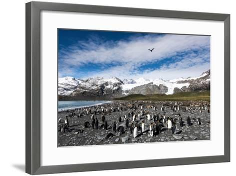 Colony of King Penguins (Aptenodytes Patagonicus) Gold Harbour South Georgia-Renato Granieri-Framed Art Print