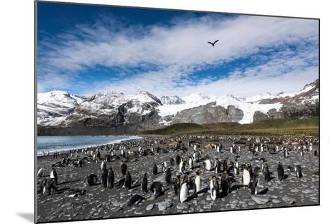 Colony of King Penguins (Aptenodytes Patagonicus) Gold Harbour South Georgia-Renato Granieri-Mounted Photographic Print