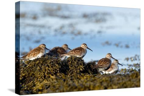 Dunlin's Wading at the Estuary-James Harwood-Stretched Canvas Print