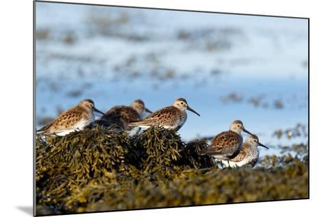 Dunlin's Wading at the Estuary-James Harwood-Mounted Photographic Print