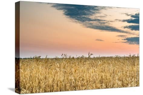 View of a Field of Wheat-Alexandr Savchuk-Stretched Canvas Print