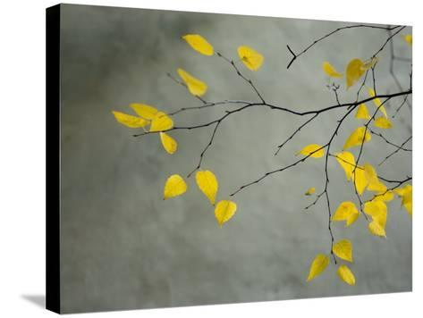 Yellow Autumnal Birch (Betula) Tree Limbs Against Gray Stucco Wall-Daniel Root-Stretched Canvas Print