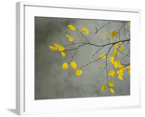 Yellow Autumnal Birch (Betula) Tree Limbs Against Gray Stucco Wall-Daniel Root-Framed Art Print