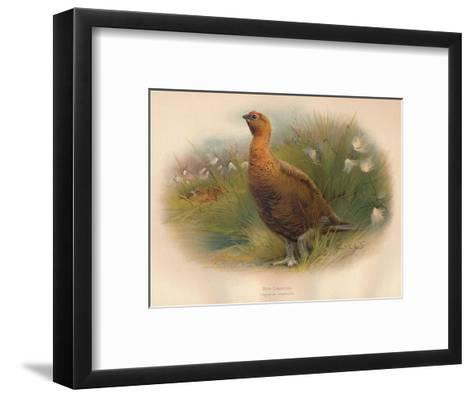 Red Grouse (Lagopus scoticus), 1900, (1900)-Charles Whymper-Framed Art Print
