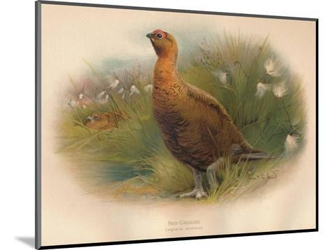 Red Grouse (Lagopus scoticus), 1900, (1900)-Charles Whymper-Mounted Giclee Print