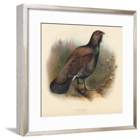Capercaillie (Tetrao urogallus), 1900, (1900)-Charles Whymper-Framed Art Print