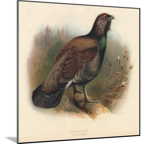 Capercaillie (Tetrao urogallus), 1900, (1900)-Charles Whymper-Mounted Giclee Print