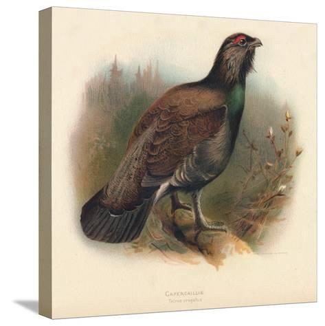 Capercaillie (Tetrao urogallus), 1900, (1900)-Charles Whymper-Stretched Canvas Print