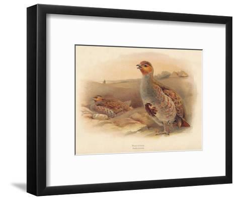 Partridge (Perdix cinerea), 1900, (1900)-Charles Whymper-Framed Art Print