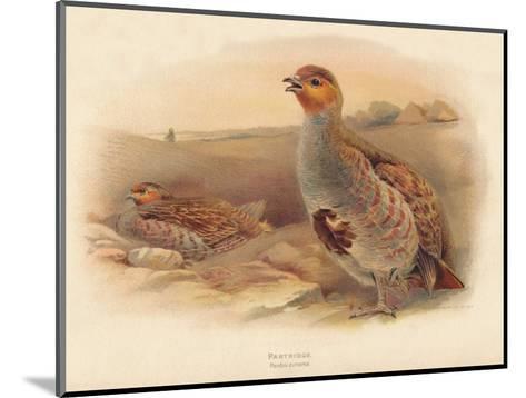 Partridge (Perdix cinerea), 1900, (1900)-Charles Whymper-Mounted Giclee Print