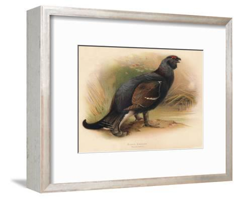 Black Grouse (Tetrau tetrix), 1900, (1900)-Charles Whymper-Framed Art Print