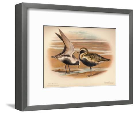 Grey Plover (Squatarola helvetica), Golden Plover (Charadrius pluvialus), 1900, (1900)-Charles Whymper-Framed Art Print