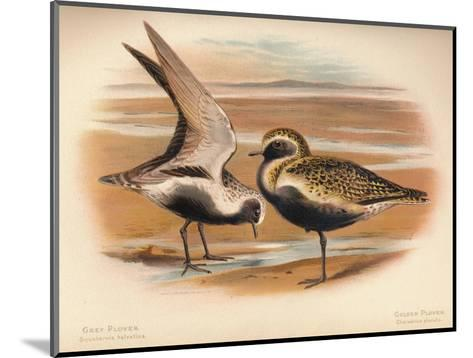 Grey Plover (Squatarola helvetica), Golden Plover (Charadrius pluvialus), 1900, (1900)-Charles Whymper-Mounted Giclee Print