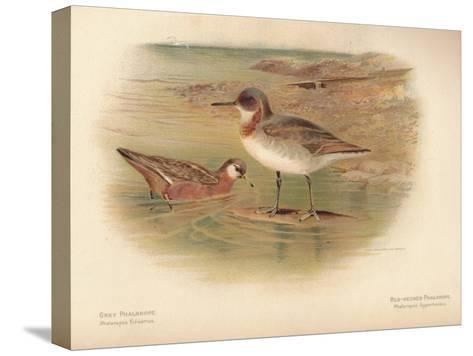Grey Phalarope (Phalaropus fulicarius), Red-Necker Phalarope (Phalaropus hyperboreus), 1900-Charles Whymper-Stretched Canvas Print