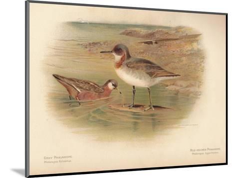 Grey Phalarope (Phalaropus fulicarius), Red-Necker Phalarope (Phalaropus hyperboreus), 1900-Charles Whymper-Mounted Giclee Print