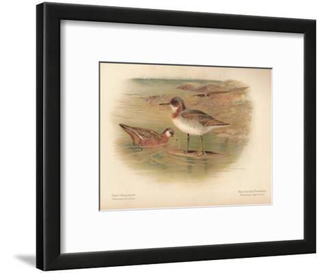 Grey Phalarope (Phalaropus fulicarius), Red-Necker Phalarope (Phalaropus hyperboreus), 1900-Charles Whymper-Framed Art Print