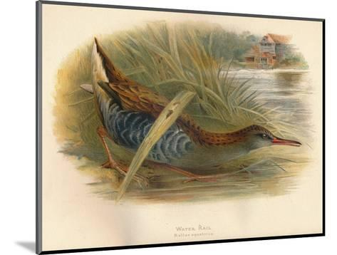 Water Rail (Rallus aquaticus), 1900, (1900)-Charles Whymper-Mounted Giclee Print